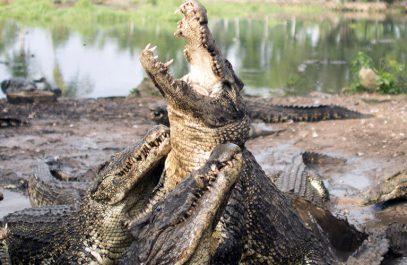 В крупнейшей мусульманской стране учинили крокодиловую бойню
