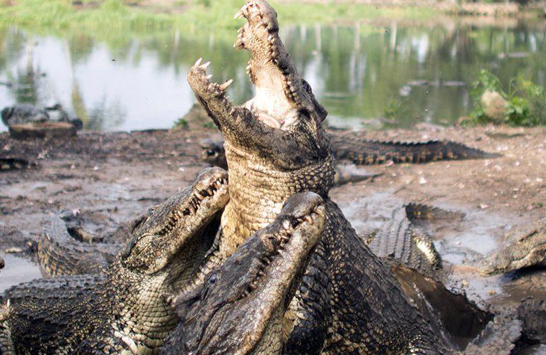 Граждане Индонезии забили досмерти 300 крокодилов