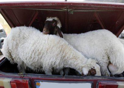 ГИБДД будет реагировать на водителей, везущих живых баранов в Курбан-байрам
