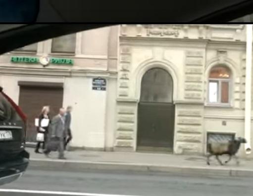 Бегущий к мечети баран наделал шума в Петербурге (ВИДЕО)