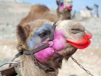 В Саудовской Аравии надругательство над верблюдами не осталось безнаказанным