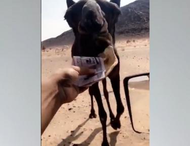 """Интернет обозлился на """"тупого"""" саудовца, кормившего верблюда """"баблом"""" (ВИДЕО)"""