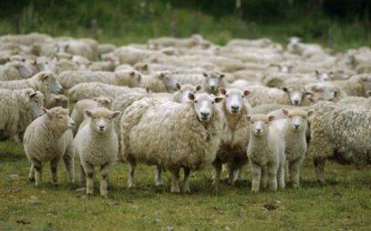 Дагестан сделал невероятное с овцами и стал лидером