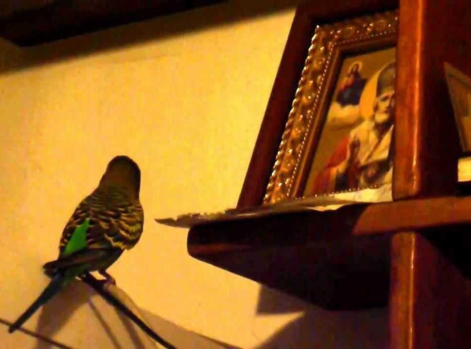 """На Валааме монахи обучили попугая поклоняться """"Божьему Сыну """""""