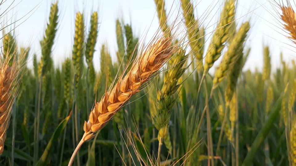 Упростить сбор, транспортировку и хранения зерна хорошо помогают специальные транспортеры.