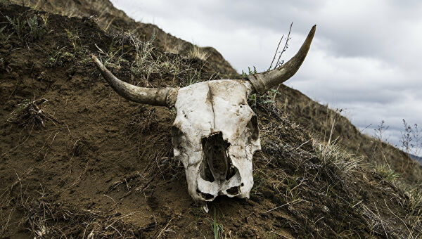 Мужчина заразился во время убоя коровы