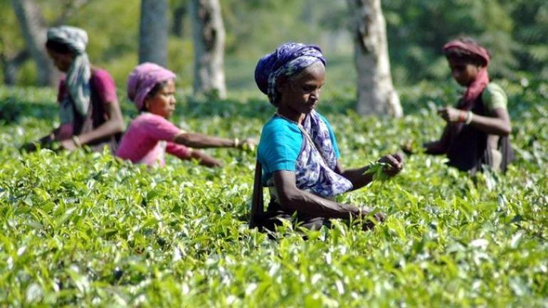 Сборщицы чая в Ассаме